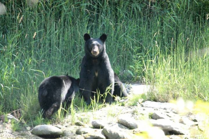 Co-existing with B.C. wildlife? More than 100 black bears destroyed in June